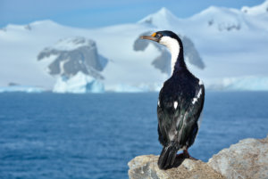 Blue Eyed Cormorant of the Antarctic