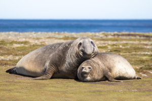 Elephant Seal of the Antarctic