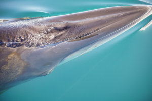 Fin Whale of the Antarctic