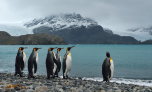 King Penguin of the Antarctic