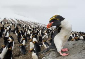 Macaroni Penguin of the Antarctic