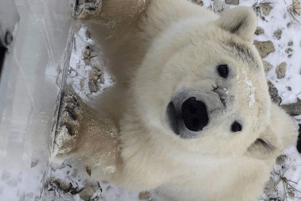 Photo of Face to Face With A Wild Polar Bear.